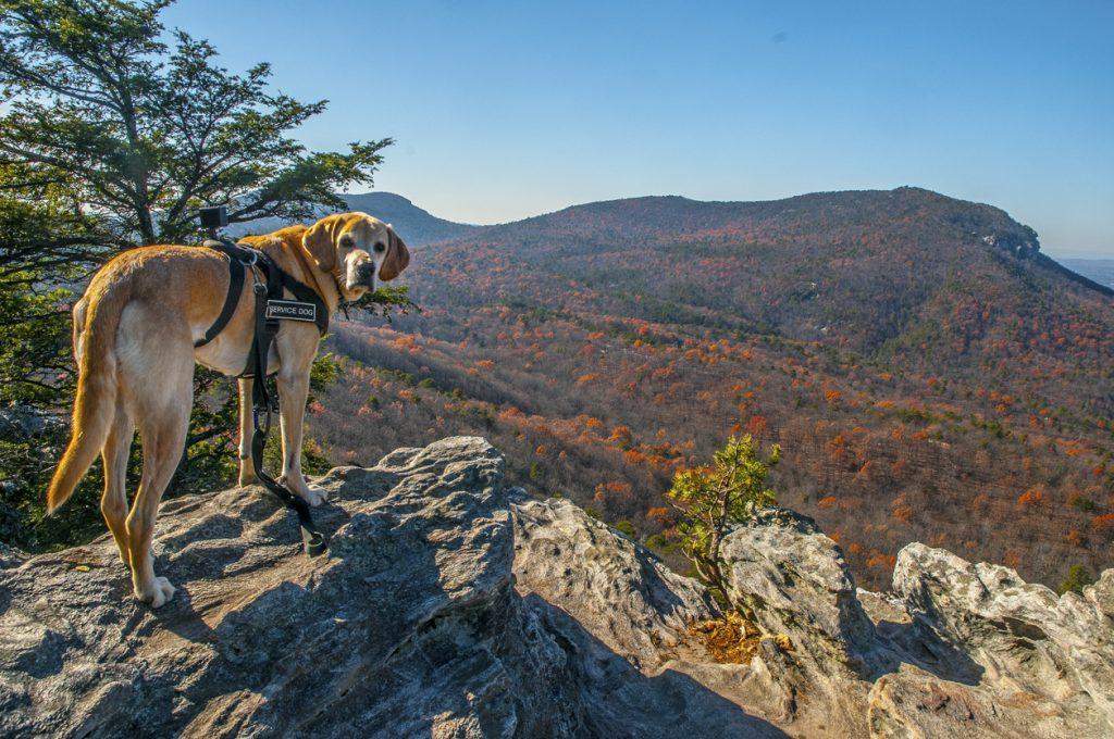 Dog overlooks the Blue Ridge Mountains