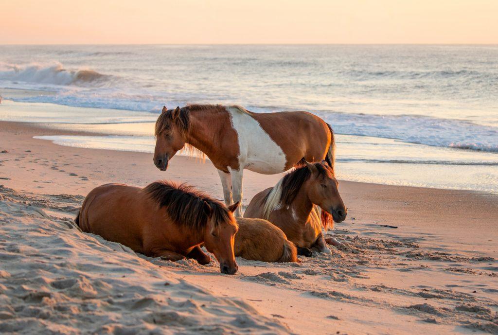Horses on Assateague State Park